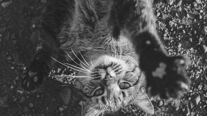 mèo lông xám